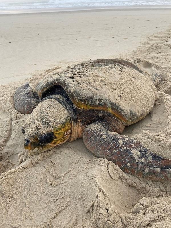 TSC loggerhead turtle